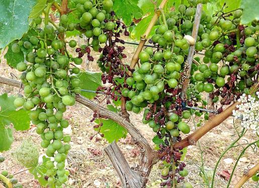 Daños a simple vista. La presencia del mildiú en las viñas es muy llamativa. La enfermedad comienza afectando al tallo de las plantas, desde donde se desplaza hasta las hojas, decolorándolas. La última etapa es afectar a los racimos, de los que llega a secar una gran parte.