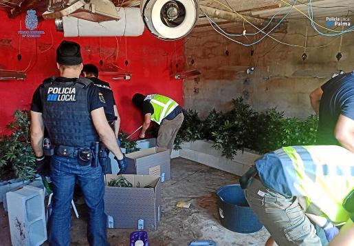 Agentes de la Policía Nacional y Local se incautan de una plantación de marihuana en una vivienda.