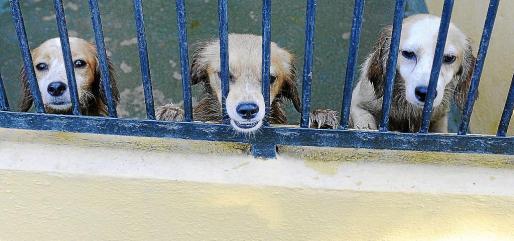 Los abandonos de perros se han reducido a la mitad durante julio en Son Reus.