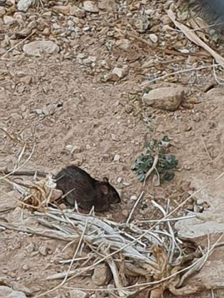 Ratas en el Coll d'en Rabassa.