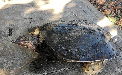 El ejemplar es una hembra adulta de 5,6 kilos y 37,5 centímetros de caparazón.