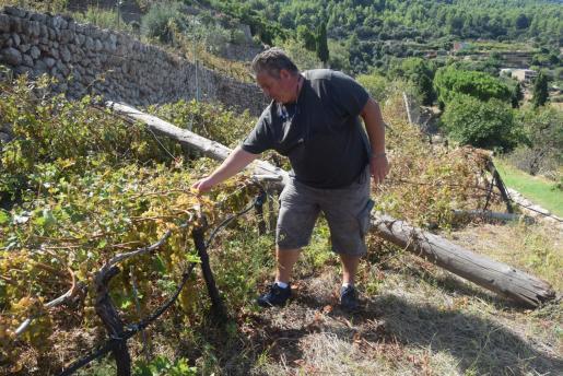 Pau Bujosa, presidente de la Cooperativa Malvasia de Banyalbufar, muestra los daños ocasionados en la finca de Son Nyoc.