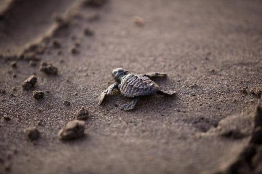 En total, ya son doce las tortugas que han nacido de la puesta de Cala Nova, ya que a las diez de es Cavallet se suman otros dos ejemplares nacidos en incubadoras.