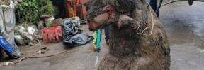 Una impactante 'rata' gigante tapona un canal de drenaje tras unas inundaciones