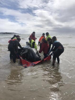 Alrededor de 380 ballenas piloto han muerto durante los últimos días tras quedar varadas en las costas de la isla de Tasmania, en Australia.