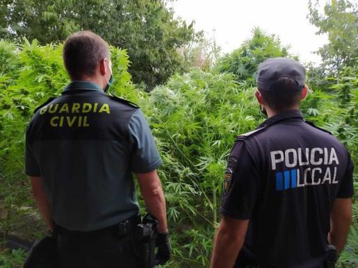 Un agente de la Guardia Civil y un policía local de Lloret ante varias plantas de marihuana.