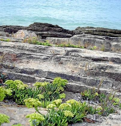 A los franceses, que lo conocen como 'herbe de Saint Pierre', 'fenouil de mer' o 'bacile', les gusta con mantequilla o nata.