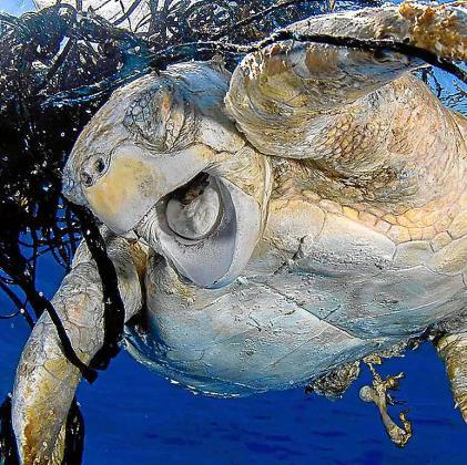 Una tortuga marina enredada entre plásticos.