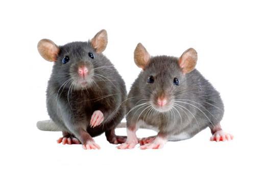 Una vacuna probada en ratones muestra eficacia en el tratamiento y prevención del cáncer de pulmón.