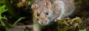 Descubierta una nueva especie de ratón acuático