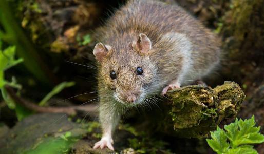 El bigote de estas nuevas especies de ratones es sensible al agua.