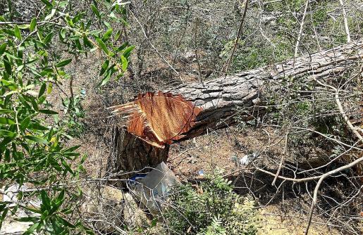 Imagen de la tala indiscriminada de pinos perpetrada cerca de Cala Falcó, denunciada por los vecinos.