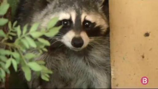 Desde enero, el Cofib ha capturado 240 mapaches en las jaulas que tiene colocadas en diferentes puntos de la Sierra de Tramuntana.