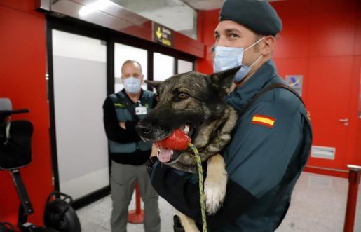 El pastor alemán es premiado en Son Sant Joan después de que 'cazara' a un pasajero con marihuana.