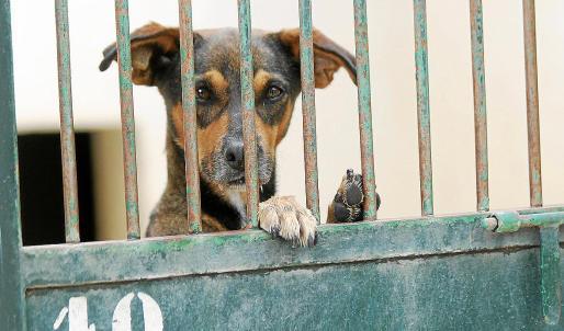 En la imagen, un can en un centro de atención animal donde suelen acabar, si no mueren antes, los perros vagabundos.