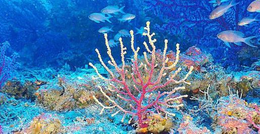 El canal de Menorca tiene importantes fondos coralígenos.