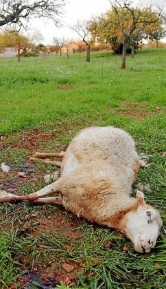 El ganado ovino es el más perjudicado por los ataques de perros aunque también afectan a las aves de corral. Además de por las muertes los rebaños tardan en recuperarse por el alto índice de animales heridos.