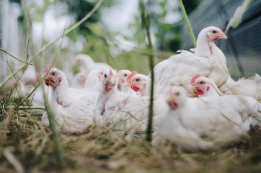 La mayor parte de las infecciones se han reportado en la provincia de Gyeonngi, que rodea a Seúl, mientras que también se han detectado decenas de contagios en aves salvajes.