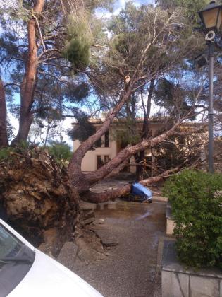 Un árbol arrancado de cuajo en Son Servera.