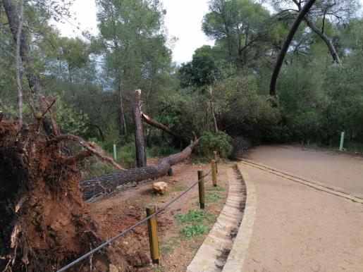 Un árbol caído en el Castell de Bellver.