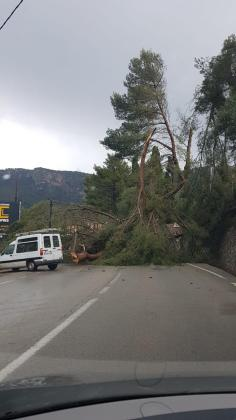 La caída de varios árboles en uno de los accesos a Bunyola provocó pequeñas retenciones.