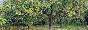 El viento y el cierre de la restauración deja por los suelos las naranjas de Sóller