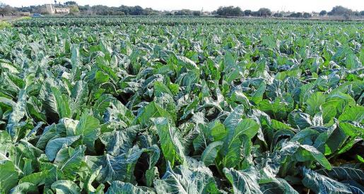 La coliflor, junto con las coles, es una verdura importante para la producción agrícola durante la temporada de invierno.