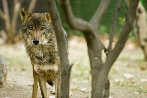El lobo deja de ser considerada especie cinegética.