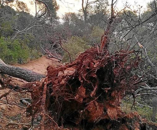 Los efectos de los últimos temporales con vientos huracanados aún son visibles en el bosque de Bellver, donde pueden verse todavía árboles caídos.
