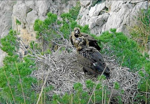 Dos buitres en su nido.