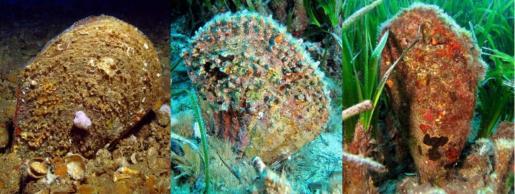 En las imágenes se observaría a la izquierda un ejemplar de nacra, en el centro otro de nacra de roca y a la derecha un ejemplar híbrido. La hibridación entre ambas especies podría ayudar a entender la inmunidad de algunos individuos al patógeno por la resistencia de la segunda.