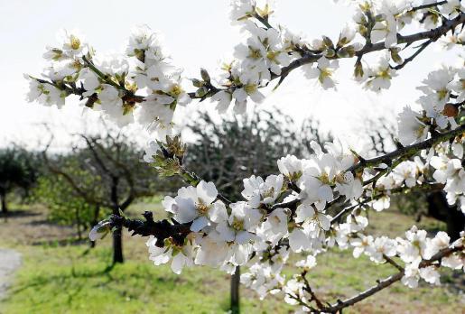 La temporada de los almedros en flor suele comenzar a finales de enero y se prolonga hasta marzo.