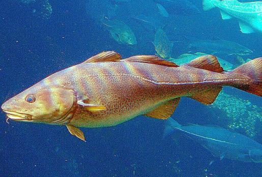 El skrei es considerado como el mejor bacalao del mundo.