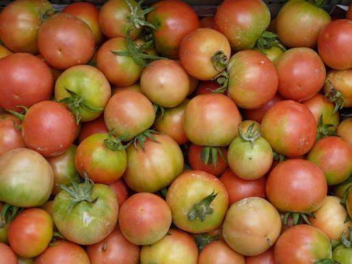 La tesis de Mateu Fullana Pericàs pone en valor el gran recurso genético que suponen las variedades locales de tomate para hacer frente a la sequía y a los efectos del cambio climático, ha informado la UIB en una nota.