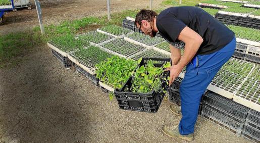 La empresa Agromallorca es la que más tomates produce en la Isla, con más de 2.000 toneladas.