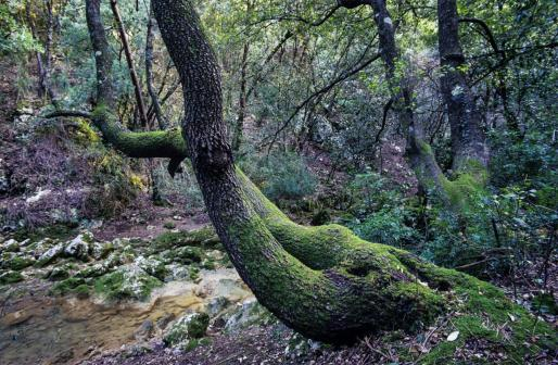 El bosque de Lluc, en el corazón de la Serra, aúna grandiosidad natural y espiritualidad.