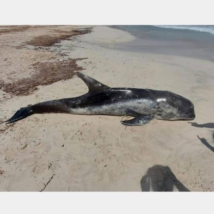 """Fundación Palma Aquarium on Instagram: """"¡Atendemos el varamiento de un calderón! Se trata de una especie conocida como """"Cap d' olla (Globicephala melas) y apareció muerto en la…"""""""
