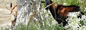 Multa de 20.000 euros por organizar una cacería ilegal de cabras salvajes autóctonas