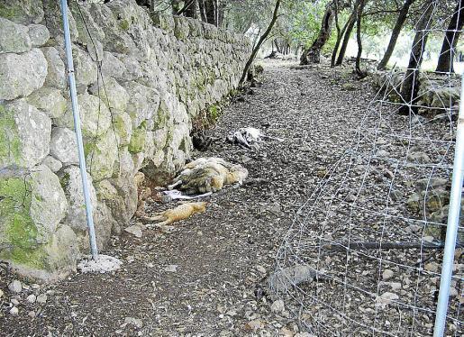 Imagen facilitada por la Plataforma Pro Camins de los animales muertos en la carretera.
