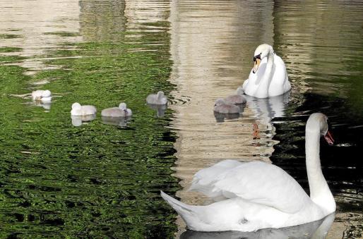 Imagen de los dos cisnes con los polluelos.