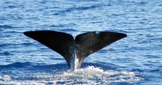 Se ha incrementado la población de cachalotes en las aguas de Balears, ya que huyen del ruido de las prospecciones.