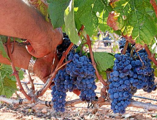 Se espera una añada de gran calidad gracias al proceso de selección de la uva.