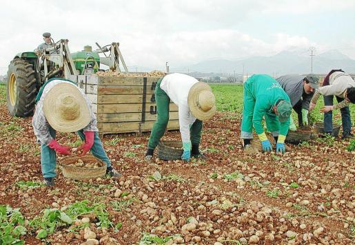 Varios payeses recolectan patata temprana en la Marjal de sa Pobla.