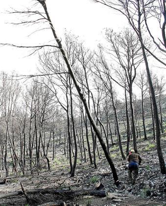 Un operario tala pinos afectados por las llamas. Fotos: JAUME MOREY