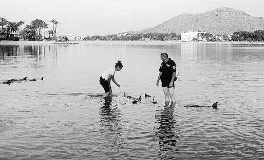 El pasado 14 de junio se halló un grupo de 12 delfines varados en la playa del Port d'Alcúdia.