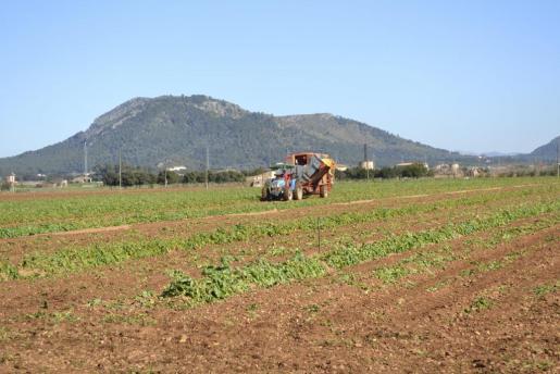 Los productores de patata poblers llevan unos años quejándose del incremento del recibo de la luz.