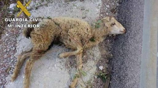 Imagen de la oveja enferma.