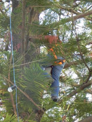 Un operario subido al árbol de Navidad de Esporles, con una altura de más de 25 metros.