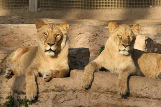Dos de las leonas del espacio dedicado a estos animales en el Zoo de Barcelona.