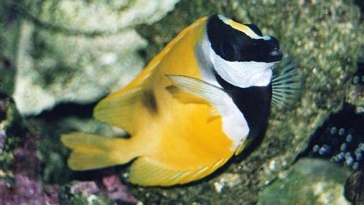 El pez Conejo se puede convertir en una amenaza para la cuenca mediterránea si continua aumentando la temperatura de sus aguas.